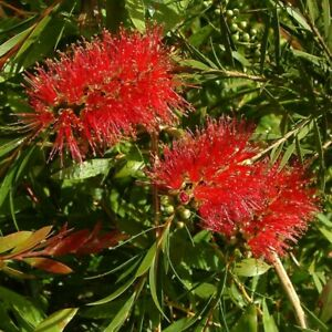 Callistemon Rigidus - Stiff Bottlebrush - 500 Seeds -Hardy Shrub