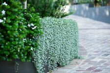 100 Dichondra Plant Seeds Mixed Creeping Hanging Rare Grass Ground Cover Bonsai