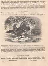 Mandarinente Aix galericulata Mandarin duck HOLZSTICH von 1866