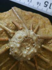 Fósil Erizo. Fossil Echinoid. Oursin. Seeigel. Urchin. Sand dollar
