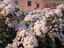 VIBURNUM TINUS 1 pianta alveolo forestale Laurotino Fioritura invernale bacche
