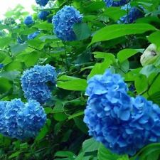 100 Pieces / Lot Bright Colors Blue Hydrangea Flower Seeds Upscale Beautify the