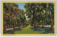 A Beautiful Pepper Tree Drive in California Euclid Ave Ontarion Cali Postcard A8