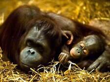 ORANGUTAN MOTHER BABY APE PHOTO ART PRINT POSTER PICTURE BMP085B