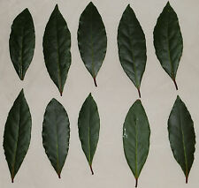 100 Extra Fresh bay leaves on branches SENT BY FIRST CLASS PARCEL POST bayleaf