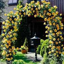 "Live  Yellow climbing  Rose 6"" Grafted Plant, S-1112"