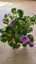 "African Violet "" Lady Trail"" miniature trailer"