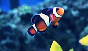 (1PAIR )Ocellaris Extra Black Designer Clownfish Bonded Pair