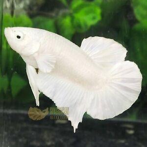 Live Betta Fish Platinum Snow White HMPK by SINGGAHAN BETTA FARM!