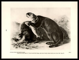 "Sea Otter/Enhydra Lutris Drawing—John James Audubon—Book Print 8.75x11.75"""