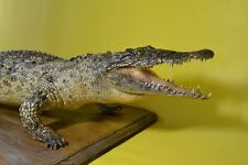 West African crocodile Stuffed Taxidermy Animal Hunting Handmade Vintage skin
