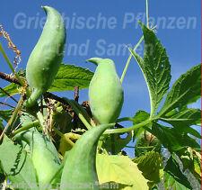 Inka Gurke* für Freiland* Kürbis* 5 Samen * SEHR SELTEN