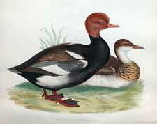 RED CRESTED WHISTLING DUCK, Beverley Morris original antique bird print 1855