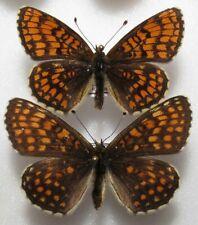 Melitaea athalia pair from PL - (mounted)