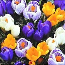 20 CROCUS SPECIE MIX BULB CORM AUTUMN GROWING GARDENING SPRING COLOURFUL FLOWER