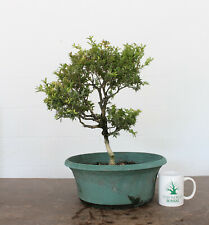 Bonsai tree, Kingsville Dwarf Boxwood, Beautiful Trunk, Awesome Base, Auction