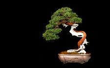 Stampa incorniciata-Giapponese Albero Bonsai (PICTURE POSTER ART fiori da giardino Giappone)