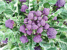 500 PURPLE SPROUTING BROCCOLI 2018 (all non-gmo heirloom vegetable seeds!)
