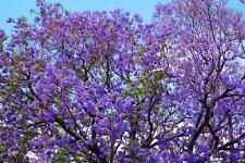 New listing Jacaranda Mimosifolia Tarco 200 seeds seeds seeds