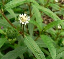 Eclipta  Alba - 50 Seeds - False Daisy Bhringraj