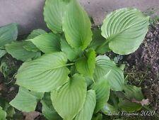 Hosta plant 6 Organic Homestead nice size. bareroot trimmed top quality