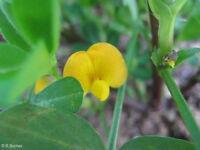 Eine exotische Zierpflanze, die Erdnuss: eine aussergewöhnliche Zimmerpflanze !