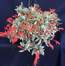 "COLUMNEA HIRTA 'LIGHT PRINCE' VARIEGATED LIPSTICK  PLANT SHIPPED IN 2"" POT"