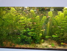 LOTTO piante acquario Ceratophyllum Demersum Anubias Limnophila Sessiflora, ECC.