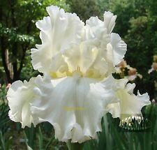"Tall Bearded ""DEVONSHIRE CREAM"" Iris - DREAMY RUFFLES RUFFLES RUFFLES! '00 PLANT"