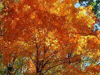 ACER SACCHARUM, SUGAR MAPLE SYRUP - approx 100gms 1000 seeds for £25