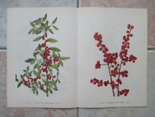 Set of 18 Vintage Walcott Wildflower Prints - Violet Wisteria Holly Jewelweed