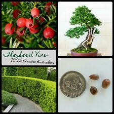 10+ ENGLISH YEW TREE SEEDS (Taxus baccata) BONSAI Conifer Softwood Shade