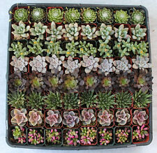 30 Rare Multi Color Lithops Succulents Seeds + 10 Rainbow Rose seeds Free