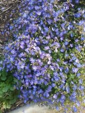 Veronica Georgia Blue in 75mm supergro tube perennial plant