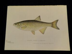 Original 1898 Denton Golden Shiner Bream Fish Print Lithograph J12