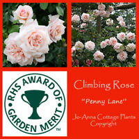 PENNY LANE CLIMBING ROSE - SCENTED REPEAT FLOWERING BARE ROOT  ** ANY 4 FOR 3 **
