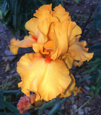 "Tall Bearded Iris Rhizome ""Avalon Sunset"" Last Auction!"
