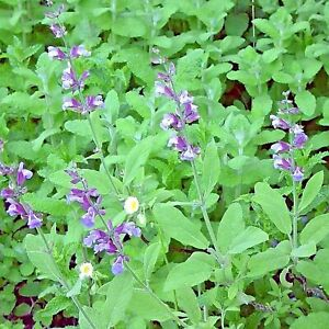 Fragrant Sage Seed 30 Seeds SaIvia Farinacea Aromatic Herb Plant Seeds Hot D045