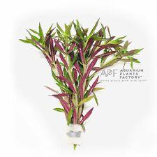 New listing Limnophila Hippuridoides Aromatica Bunch Apf Live Aquarium Plants Buy2Get1Free*
