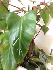 Philodendron red Emerald royal red efeutute habitación planta Pink rojo esquejes 🌱