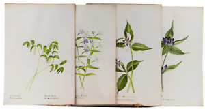 Large Collection American Antique Wild Flower Drawings Botanical Illustrations
