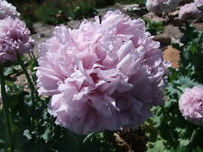 Poppy Double Lilac Peony (500 seeds)- Organic Heirloom from Life-Force Seeds