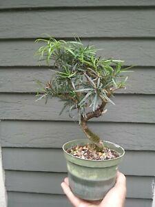 Buddhist Pine; Podocarpus macrophyllus shipped in plastic pot.
