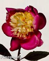 1980 IRVING PENN Vintage FLOWER Botanical Fine Art PEONY Photo Litho Plate 11x14