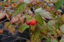 Sakhalin raspberry (Rubus matsumuranus) 30 seeds