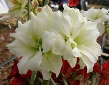 3 bulbs*AMARYLLIS Alfresco®*White Double flower*S. African Hippeastrum Bulbs