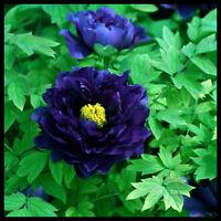 5pcs/lot Dark Blue Tree Peony Flower Seeds bonsai plant home garden