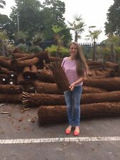 Tree Fern Dicksonia Antarctica 1ft Trunk NEW IN STOCK BEST Prices in the UK