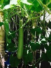 Club Long Bottle Gourd Seed Vegetable 10 Seeds 节瓜 hairy gourd, Long Melon