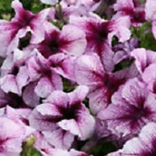 50 Pelleted Prism Blueberry Sundae Petunia Seeds